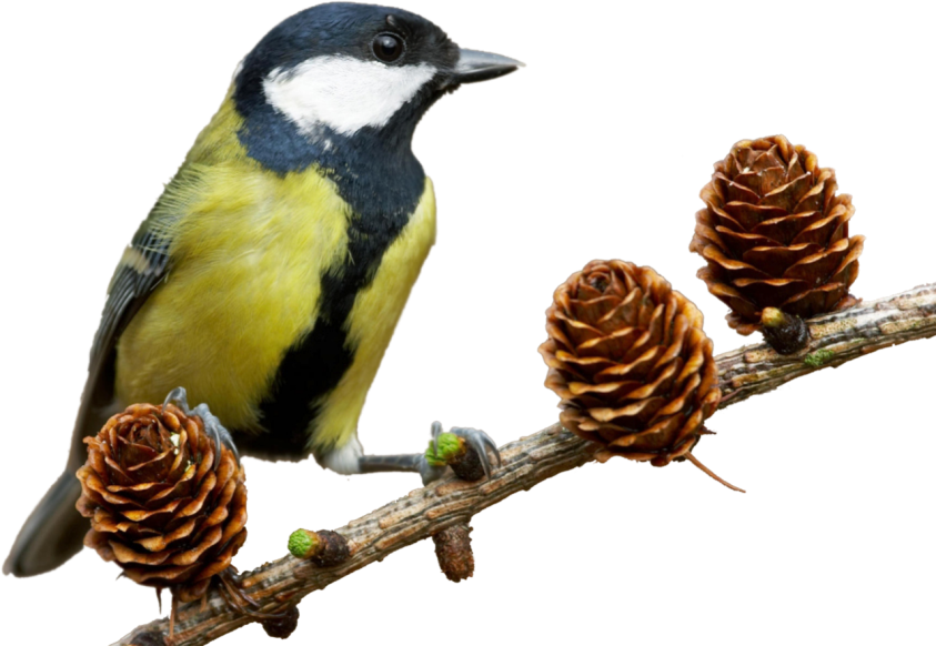 Днем, картинка зимующие птицы для детей на прозрачном фоне