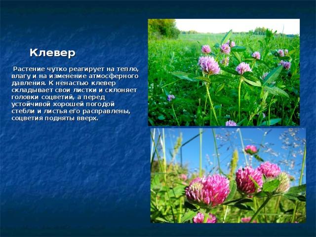 Клевер     Растение чутко реагирует на тепло, влагу и на изменение атмосферного давления. К ненастью клевер складывает свои листки и склоняет головки соцветий, а перед устойчивой хорошей погодой стебли и листья его расправлены, соцветия подняты вверх.