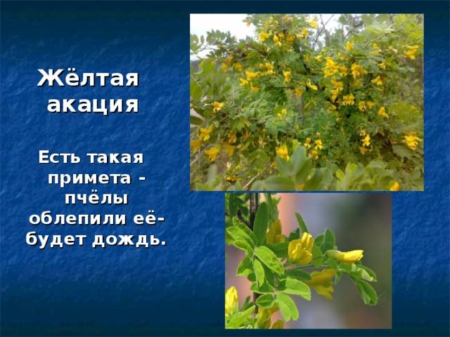 Жёлтая акация  Есть такая примета - пчёлы облепили её- будет дождь.
