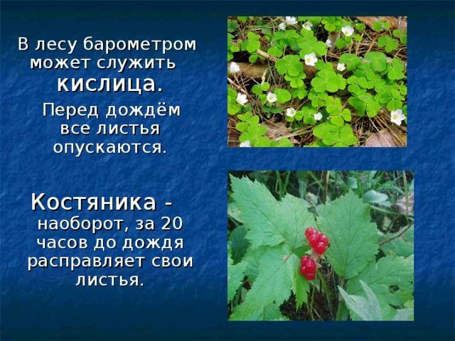 В лесу барометром может служить  кислица.  Перед дождём все листья опускаются. Костяника - наоборот, за 20 часов до дождя расправляет свои листья.