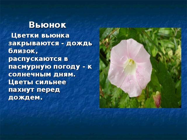 Вьюнок  Цветки вьюнка закрываются - дождь близок, распускаются в пасмурную погоду - к солнечным дням.  Цветы сильнее пахнут перед дождем.