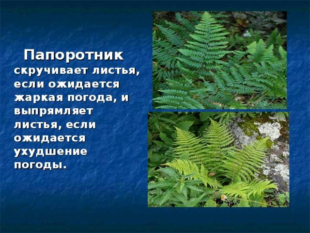 Папоротник скручивает листья, если ожидается жаркая погода, и выпрямляет листья, если ожидается ухудшение погоды.