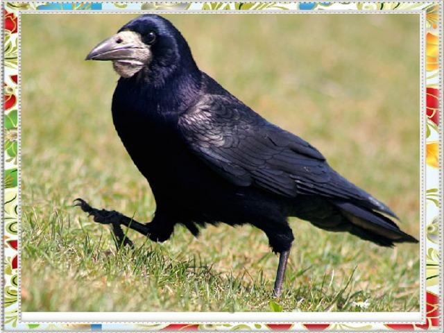 По весенней чёрной пашне  кто-то ходит, строг и важен.  Прыгнет, крыльями помашет -  крылья чёрные, как сажа.  Не отмыть её, хоть плачь!  Этой птице имя …