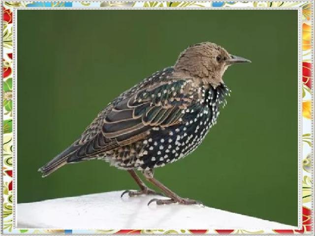 А эта птица пародист,  Изобразит и плач, и свист.  Придет весна, и мы его  На волю выпустим в окно.  В скворечник вселится жилец.  Конечно, это наш ...