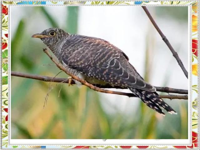 Нам часто слышится в леску  Между ветвей: - Ку-ку! Ку-ку!  Какая пёстренькая птичка  В чужом гнезде снесла яичко?