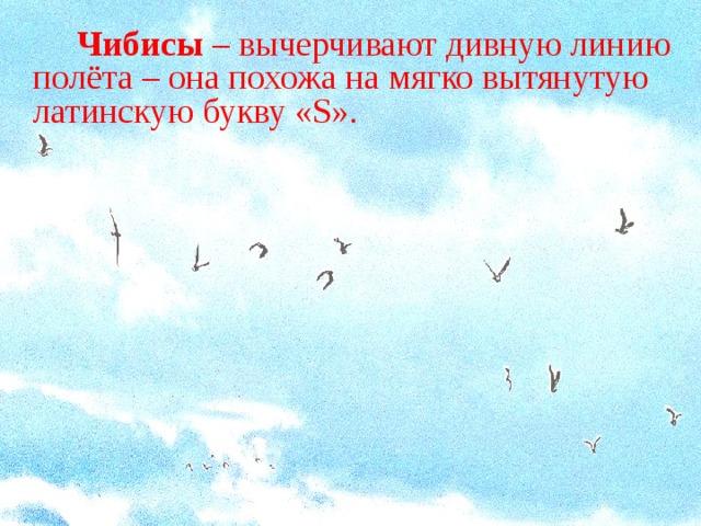 Чибисы – вычерчивают дивную линию полёта – она похожа на мягко вытянутую латинскую букву « S ».