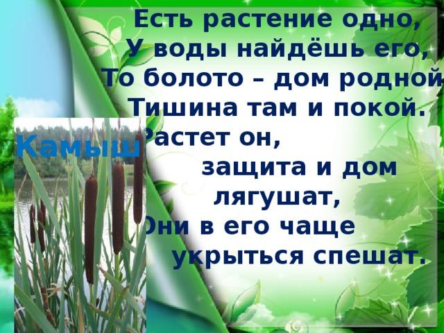 Есть растение одно, У воды найдёшь его, То болото – дом родной, Тишина там и покой.   Растет он,   защита и дом лягушат,   Они в его чаще   укрыться спешат.   Камыш