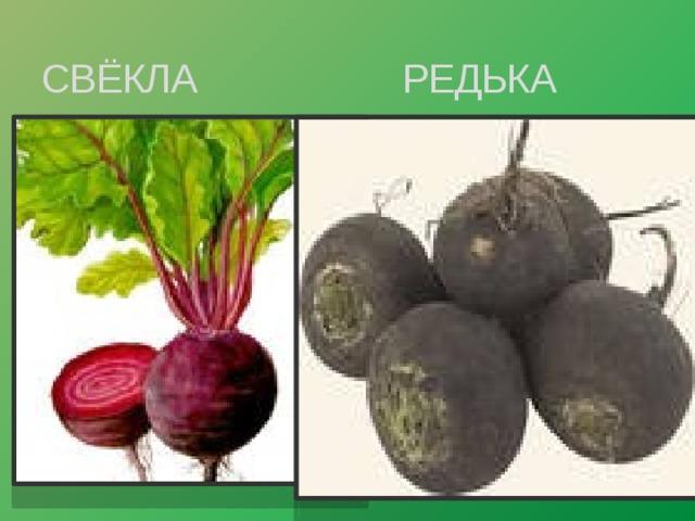 СВЁКЛА РЕДЬКА