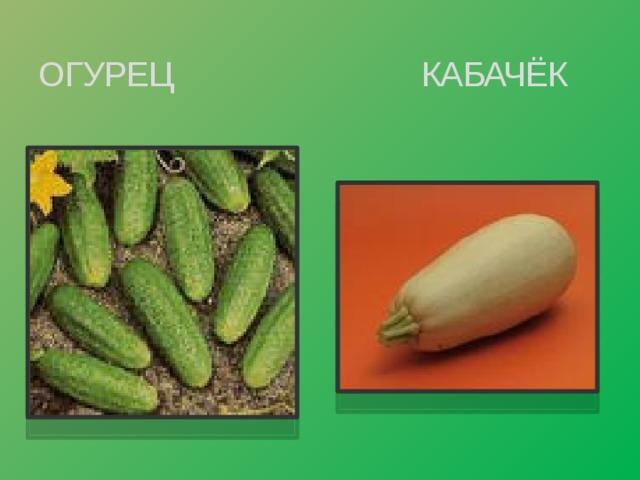 ОГУРЕЦ КАБАЧЁК