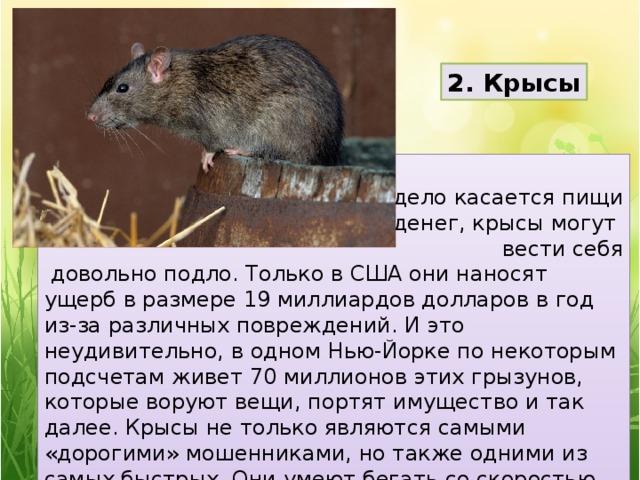2. Крысы  Если дело касается пищи и денег, крысы могут вести себя  довольно подло. Только в США они наносят ущерб в размере 19 миллиардов долларов в год из-за различных повреждений. И это неудивительно, в одном Нью-Йорке по некоторым подсчетам живет 70 миллионов этих грызунов, которые воруют вещи, портят имущество и так далее. Крысы не только являются самыми «дорогими» мошенниками, но также одними из самых быстрых. Они умеют бегать со скоростью 10 километров в час.