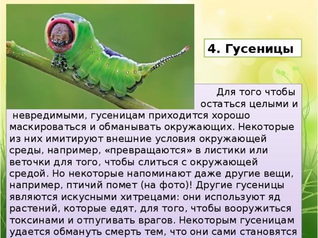 4. Гусеницы Для того чтобы остаться целыми и  невредимыми, гусеницам приходится хорошо маскироваться и обманывать окружающих. Некоторые из них имитируют внешние условия окружающей среды, например, «превращаются» в листики или веточки для того, чтобы слиться с окружающей средой. Но некоторые напоминают даже другие вещи, например, птичий помет (на фото)! Другие гусеницы являются искусными хитрецами: они используют яд растений, которые едят, для того, чтобы вооружиться токсинами и отпугивать врагов. Некоторым гусеницам удается обмануть смерть тем, что они сами становятся убийцами. На Гавайях живет одна такая гусеница, которая питается мясом.