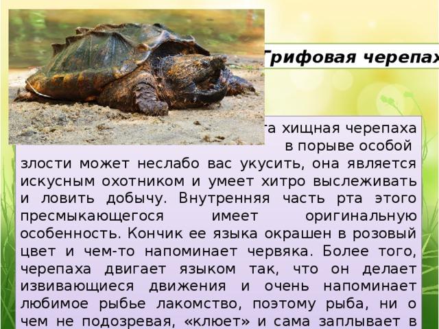 5. Грифовая черепаха Эта хищная черепаха  в порыве особой злости может неслабо вас укусить, она является искусным охотником и умеет хитро выслеживать и ловить добычу. Внутренняя часть рта этого пресмыкающегося имеет оригинальную особенность. Кончик ее языка окрашен в розовый цвет и чем-то напоминает червяка. Более того, черепаха двигает языком так, что он делает извивающиеся движения и очень напоминает любимое рыбье лакомство, поэтому рыба, ни о чем не подозревая, «клюет» и сама заплывает в пасть черепахи.