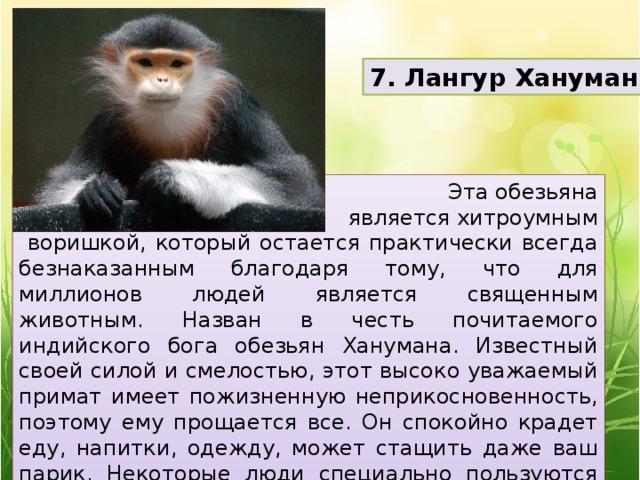 7. Лангур Хануман Эта обезьяна  является хитроумным  воришкой, который остается практически всегда безнаказанным благодаря тому, что для миллионов людей является священным животным. Назван в честь почитаемого индийского бога обезьян Ханумана. Известный своей силой и смелостью, этот высоко уважаемый примат имеет пожизненную неприкосновенность, поэтому ему прощается все. Он спокойно крадет еду, напитки, одежду, может стащить даже ваш парик. Некоторые люди специально пользуются этими способностями мартышек себе на руку.