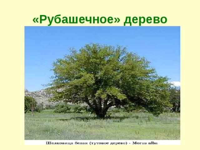 «Рубашечное» дерево