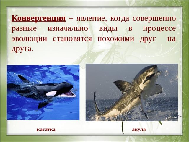 Конвергенция – явление, когда совершенно разные изначально виды в процессе эволюции становятся похожими друг на друга. касатка акула