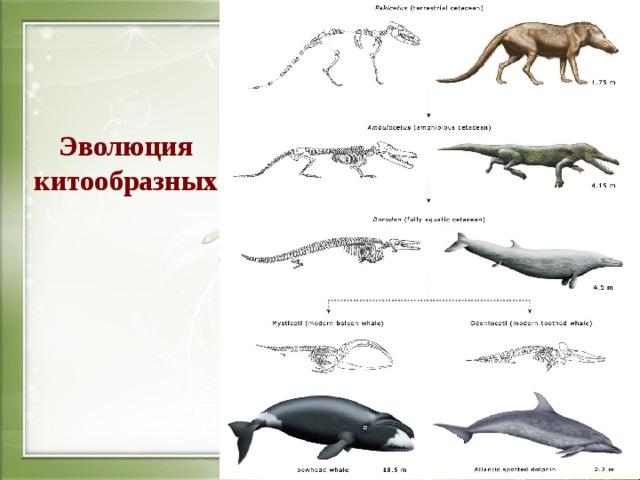 Эволюция китообразных