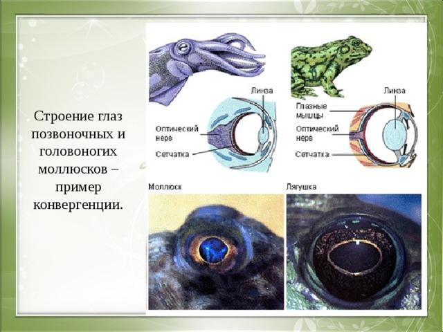 Строение глаз позвоночных и головоногих моллюсков – пример конвергенции.