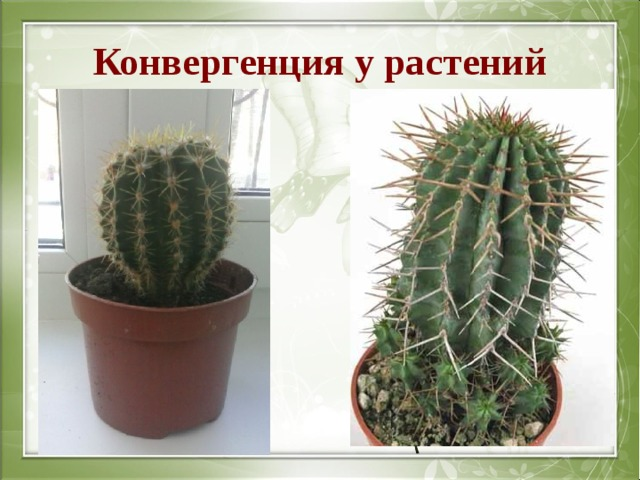 Конвергенция у растений