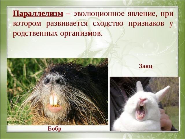 Параллелизм – эволюционное явление, при котором развивается сходство признаков у родственных организмов. Заяц Бобр