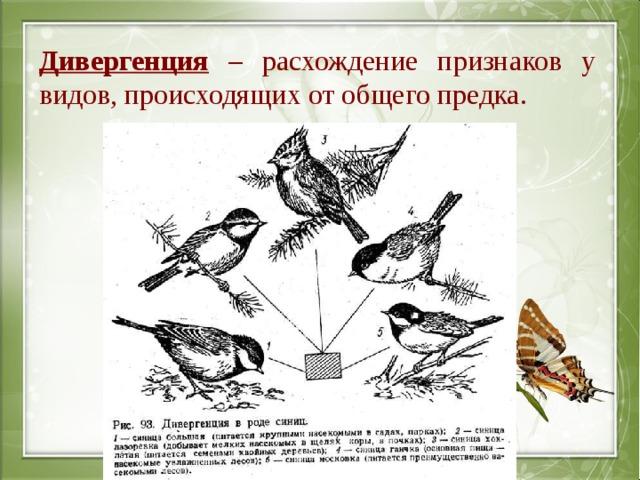 Дивергенция – расхождение признаков у видов, происходящих от общего предка.
