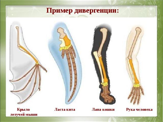Пример дивергенции: Крыло летучей мыши Лапа кошки Ласта кита Рука человека