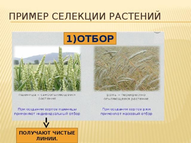 Пример селекции растений 1)ОТБОР ПОЛУЧАЮТ ЧИСТЫЕ ЛИНИИ.