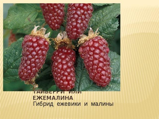 Тайберри или ежемалина Гибрид ежевики и малины