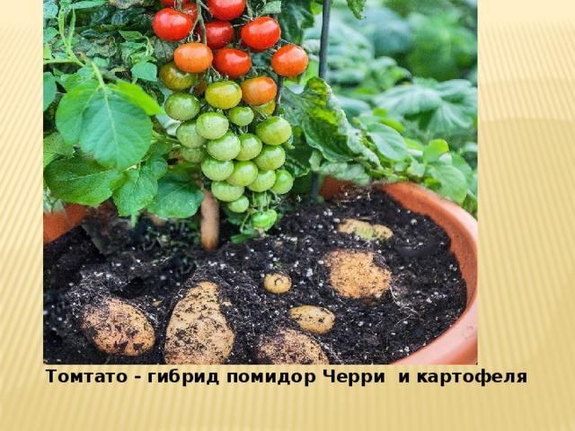 Томтато - гибрид помидор Черри и картофеля