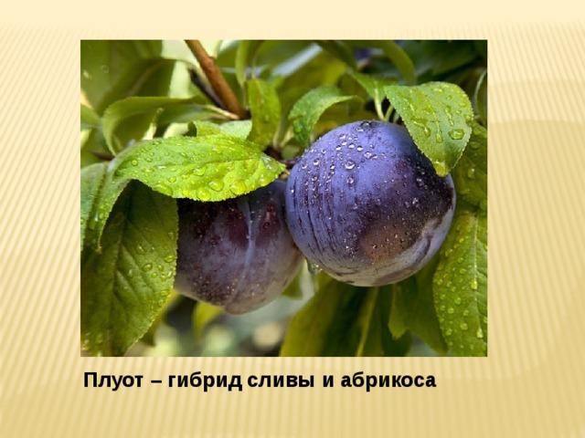 Плуот – гибрид сливы и абрикоса