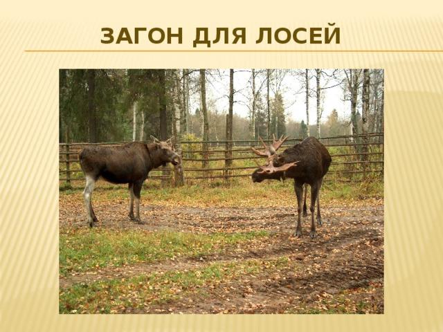 Загон для лосей