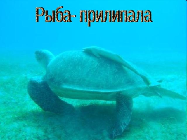 Рыба- прилипала