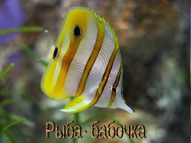 Рыба- бабочка