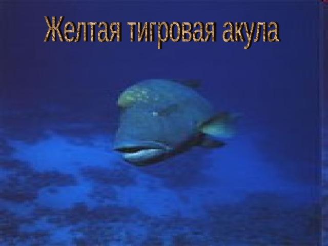 Желтая тигровая акула