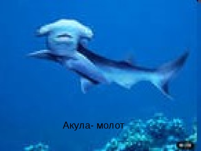 Акула- молот Акула- молот