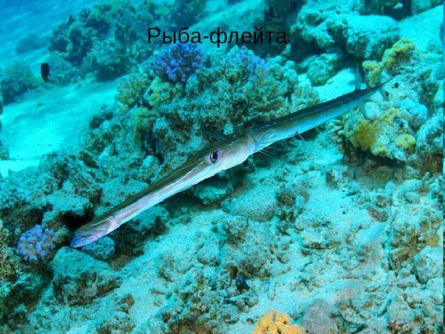 Рыба-флейта Рыба-флейта
