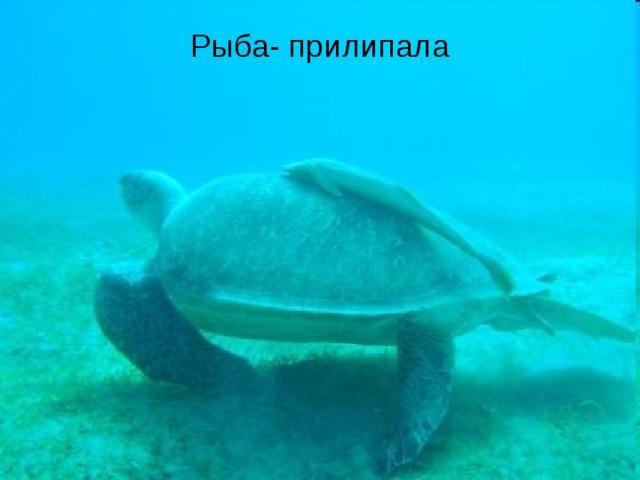 Рыба- прилипала Рыба- прилипала
