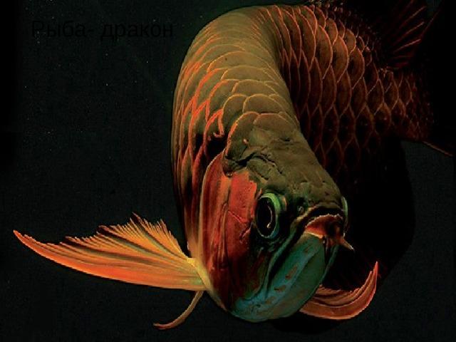 Рыба- дракон Рыба- дракон