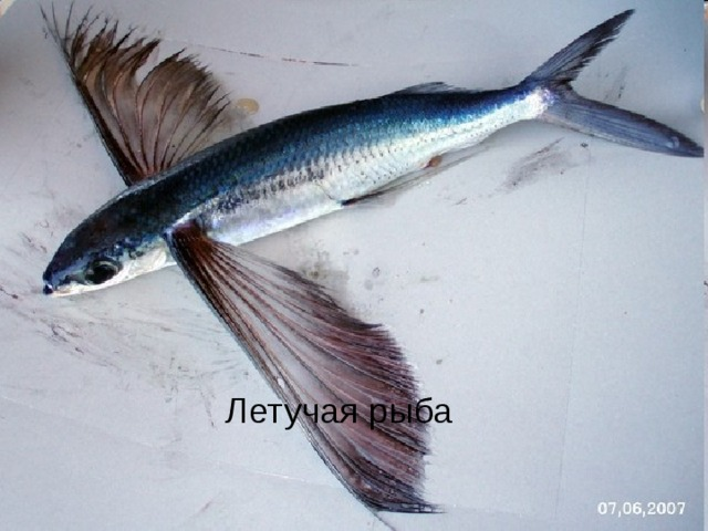 Летучая рыба Летучая рыба