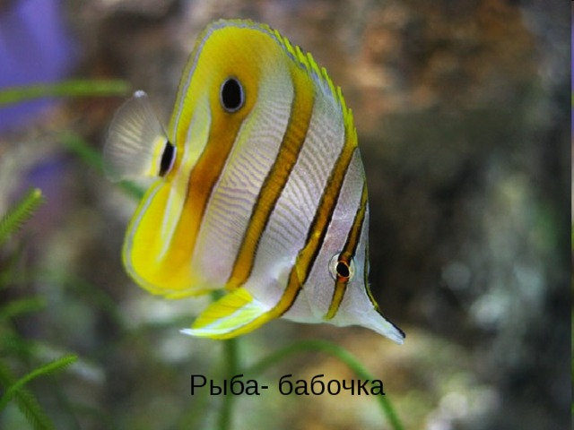Рыба- бабочка Рыба- бабочка