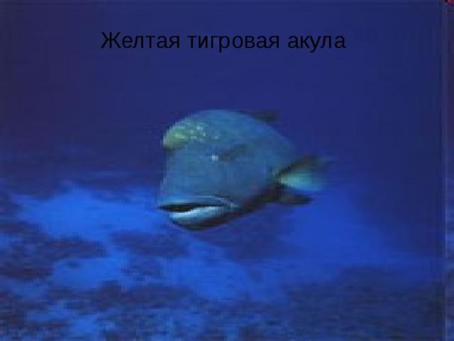 Желтая тигровая акула Желтая тигровая акула