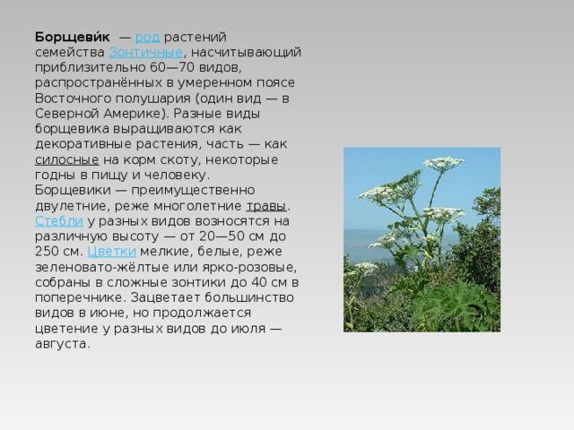 Борщеви́к — род растений семейства Зонтичные , насчитывающий приблизительно 60—70 видов, распространённых вумеренном поясе Восточного полушария (один вид— в Северной Америке). Разные виды борщевика выращиваются как декоративные растения, часть— как силосные на корм скоту, некоторые годны в пищу и человеку. Борщевики— преимущественно двулетние, реже многолетние травы . Стебли у разных видов возносятся на различную высоту— от 20—50см до 250см. Цветки мелкие, белые, реже зеленовато-жёлтые или ярко-розовые, собраны в сложные зонтики до 40см в поперечнике. Зацветает большинство видов в июне, но продолжается цветение у разных видов до июля— августа.
