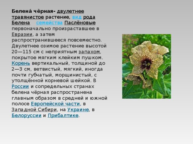 Белена́ чёрная-  двулетнее  травянистое растение, вид  рода  Белена  семейства  Паслёновые  первоначально произраставшее в Евразии , а затем распространившееся повсеместно. Двулетнее озимое растение высотой 20—115см с неприятным запахом , покрытое мягким клейким пушком. Корень вертикальный, толщиной до 2—3см, ветвистый, мягкий, иногда почти губчатый, морщинистый, с утолщённой корневой шейкой. В России и сопредельных странах белена чёрная распространена главным образом в средней и южной полосе Европейской части , в Западной Сибири , на Украине , в Белоруссии и Прибалтике .