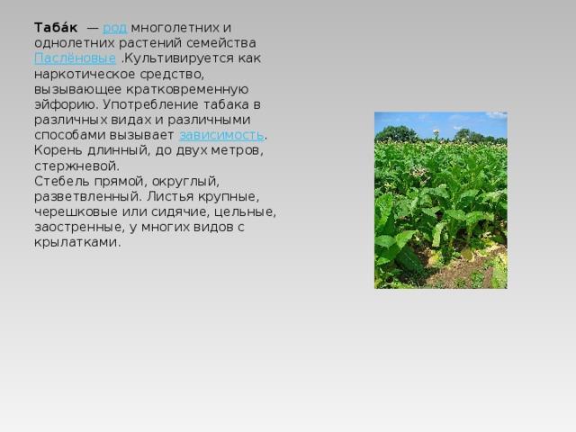 Таба́к — род многолетних и однолетних растений семейства Паслёновые .Культивируется как наркотическое средство, вызывающее кратковременную эйфорию. Употребление табака в различных видах и различными способами вызывает зависимость . Кореньдлинный, до двух метров, стержневой. Стебель прямой, округлый, разветвленный. Листья крупные, черешковые или сидячие, цельные, заостренные, у многих видов с крылатками.