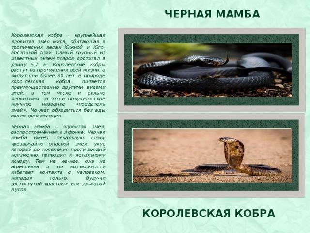 Черная мамба Королевская кобра - крупнейшая ядовитая змея мира, обитающая в тропических лесах Южной и Юго-Восточной Азии. Самый крупный из известных экзем-пляров достигал в длину 5,7 м. Королевские кобры растут на протяжении всей жизни, а живут они более 30 лет. В природе коро-левская кобра питается преиму-щественно другими видами змей, в том числе и сильно ядовитыми, за что и получила своё научное название «поедатель змей». Мо-жет обходиться без еды около трёх месяцев. Черная мамба - ядовитая змея, распространённая в Африке. Черная мамба имеет печальную славу чрезвычайно опасной змеи, укус которой до появления проти-воядий неизменно приводил к летальному исходу. Тем не ме-нее, она не агрессивна и по воз-можности избегает контакта с человеком, нападая только, буду-чи застигнутой врасплох или за-жатой в угол.   Вставка рисунка Вставка рисунка Королевская кобра
