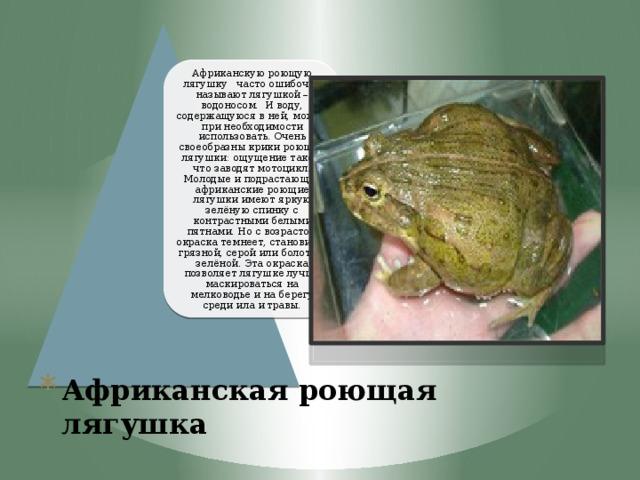 Африканскую роющую лягушку часто ошибочно называют лягушкой – водоносом. И воду, содержащуюся в ней, можно при необходимости использовать. Очень своеобразны крики роющей лягушки: ощущение такое, что заводят мотоцикл. Молодые и подрастающие африканские роющие лягушки имеют яркую зелёную спинку с контрастными белыми пятнами. Но с возрастом окраска темнеет, становится грязной, серой или болотно-зелёной. Эта окраска позволяет лягушке лучше маскироваться на мелководье и на берегу среди ила и травы.