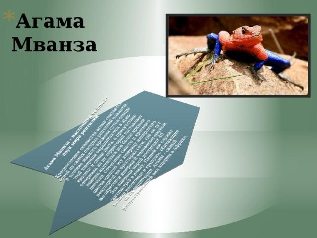 Агама Мванза – настоящий человек-паук мира рептилий   Красноголовая скалистая агама считается одной из самых пестрых рептилий планеты. В течение жаркого времени суток самцы этой ящерицы окрашиваются в ярко-красные и синие цвета, а присутствие соперника на их территории заставляет ящериц наливаться все более яркими цветами. Сочетание синего и красного цветов сделало эту ящерицу невероятно популярной на просторах сети, где ее тут же окрестили ящерицей человеком-пауком. Эти ящерицы порой достигают 40 сантиметров в длину. Пищей им служат мелкие насекомые и грызуны, обитающие на их территории. Агамы – самый распространенный вид ящериц в Африке.
