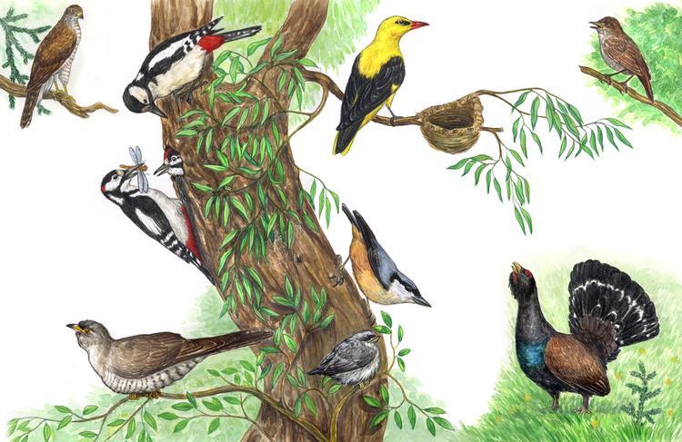 одежды картинки с птиц наших лесов небольшом количестве