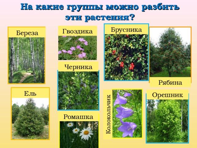 На какие группы можно разбить эти растения? Колокольчик Брусника Гвоздика Береза Черника Рябина Ель Орешник Ромашка