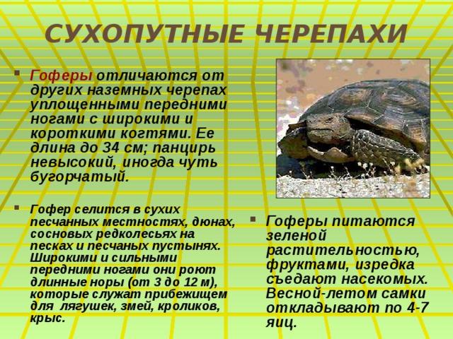 СУХОПУТНЫЕ ЧЕРЕПАХИ Гоферы отличаются от других наземных черепах уплощенными передними ногами с широкими и короткими когтями. Ее длина до 34 см; панцирь невысокий, иногда чуть бугорчатый.