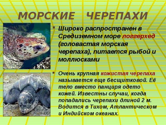 МОРСКИЕ ЧЕРЕПАХИ Широко распространен в Средиземном море логгерхед (головастая морская черепаха), питается рыбой и моллюсками